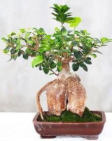 Japon ağacı bonsai saksı bitkisi  Gölbaşı ankara çiçek servisi , çiçekçi adresleri