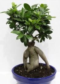 bonsai japon ağacı saksı çiçeği  Çiçekçi Gölbaşı çiçekçi mağazası