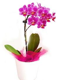 Tek dallı mor orkide  Gölbaşı anneler günü çiçek yolla