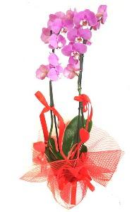 2 dallı mor orkide bitkisi  Ankara Gölbaşı hediye sevgilime hediye çiçek