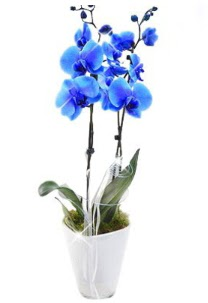 2 dallı AŞILI mavi orkide  Ankara Gölbaşı hediye sevgilime hediye çiçek