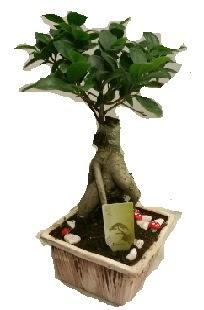 Japon ağacı bonsai seramik saksı  Gölbaşı çiçekçiler  çiçek siparişi sitesi