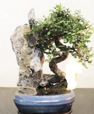 Japon ağacı bonsai saksı bitkisi satışı  Gölbaşı çiçek siparişi yurtiçi ve yurtdışı çiçek siparişi