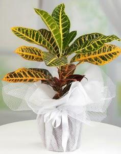 Orta boy kraton saksı bitkisi  Çiçekçi Gölbaşı çiçekçi mağazası