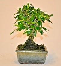 Zelco bonsai saksı bitkisi  Çiçekçi Gölbaşı çiçekçi mağazası