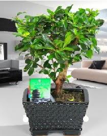 Bonsai japon ağacı saksı bitkisi  Ankara Gölbaşı hediye sevgilime hediye çiçek