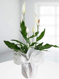 Spathiphyllum Çiçeği Barış çiçeği  Gölbaşına çiçek , çiçekçi , çiçekçilik