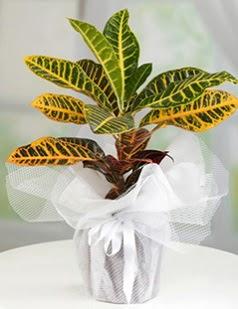 Kraton saksı bitkisi çiçeği  Çiçekçi Gölbaşı çiçekçi mağazası