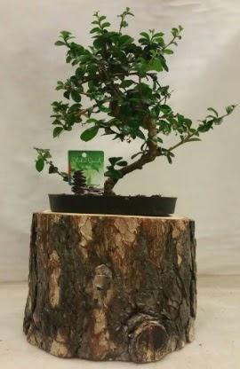 Doğal kütük içinde bonsai japon ağacı  Ankaradaki çiçekçiler Gölbaşı cicek , cicekci