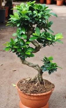 Orta boy bonsai saksı bitkisi  Gölbaşı çiçek yolla , çiçek gönder , çiçekçi