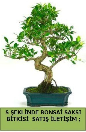İthal S şeklinde dal eğriliği bonsai satışı  Ankara Gölbaşı 14 şubat sevgililer günü çiçek