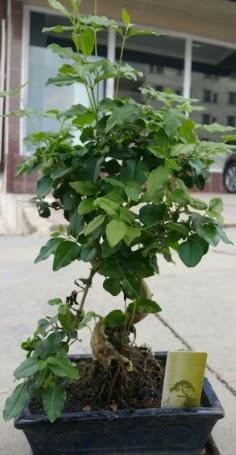 Bonsai japon ağacı saksı bitkisi  Ankara çiçekçi Gölbaşı İnternetten çiçek siparişi