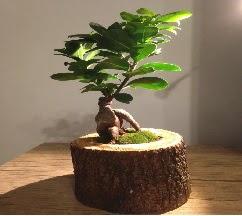 Doğal kütükte Bonsai japon ağacı satışı  Gölbaşı çiçek siparişi yurtiçi ve yurtdışı çiçek siparişi