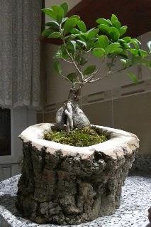 Ahşap kütük içerisinde ginseng bonsai  Gölbaşı çiçek yolla , çiçek gönder , çiçekçi