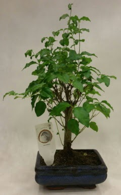 Minyatür bonsai japon ağacı satışı  Gölbaşı anneler günü çiçek yolla