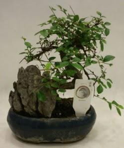İthal 1.ci kalite bonsai japon ağacı  Ankara Gölbaşı hediye sevgilime hediye çiçek