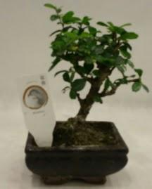 Küçük minyatür bonsai japon ağacı  Ankara Gölbaşı 14 şubat sevgililer günü çiçek