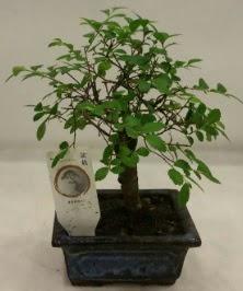 Minyatür ithal japon ağacı bonsai bitkisi  Ankara Gölbaşı hediye sevgilime hediye çiçek