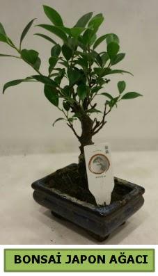Bonsai japon ağacı saksı bitkisi  Çiçekçi Gölbaşı çiçekçi mağazası