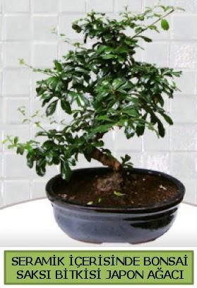 Seramik vazoda bonsai japon ağacı bitkisi  Gölbaşı çiçekçi güvenli kaliteli hızlı çiçek