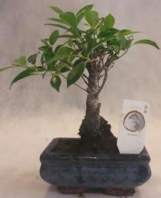 Bonsai ağacı japon ağaç bitkisi  Ankara Gölbaşı çiçekçi uluslararası çiçek gönderme