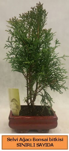 Selvi ağacı bonsai japon ağacı bitkisi  Ankara Gölbaşı hediye sevgilime hediye çiçek