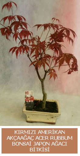 Amerikan akçaağaç Acer Rubrum bonsai  Gölbaşı çiçekçi telefonları