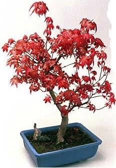 Amerikan akçaağaç bonsai bitkisi  Ankara Gölbaşı çiçekçi uluslararası çiçek gönderme
