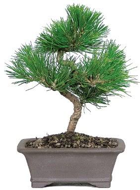 Çam ağacı bonsai japon ağacı bitkisi  Ankara Gölbaşı 14 şubat sevgililer günü çiçek