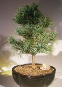 Çam ağacı bonsai bitkisi satışı  Gölbaşı ankara çiçek servisi , çiçekçi adresleri