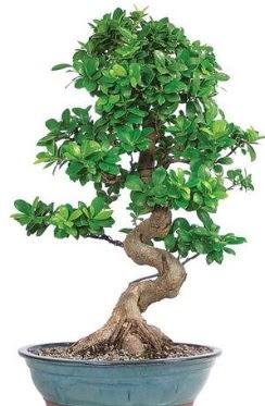 Yaklaşık 70 cm yüksekliğinde ithal bonsai  Gölbaşı anneler günü çiçek yolla