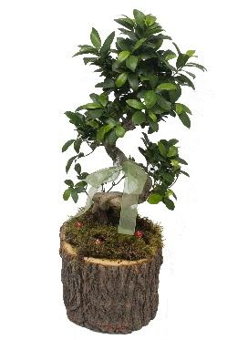 Doğal kütükte bonsai saksı bitkisi  Ankaradaki çiçekçiler Gölbaşı cicek , cicekci