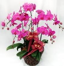 Sepet içerisinde 5 dallı lila orkide  Gölbaşı ankara çiçek servisi , çiçekçi adresleri