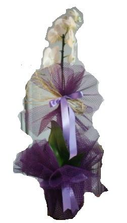 Tek dallı beyaz orkide süper kalite ithal  Gölbaşı çiçekçi güvenli kaliteli hızlı çiçek