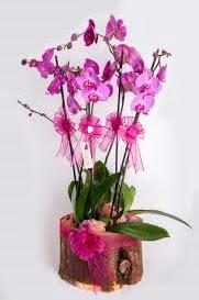 4 dallı kütük içerisibde mor orkide  Ankara Gölbaşı hediye sevgilime hediye çiçek
