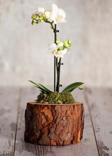Doğal kütük 2 dallı beyaz orkide  Ankara Gölbaşı çiçekçi uluslararası çiçek gönderme