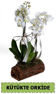 Kütük içerisinde 2 Adet tek dallı orkide  Gölbaşına çiçek , çiçekçi , çiçekçilik