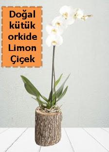 Doğal kütükte tek dallı beyaz orkide  Gölbaşı anneler günü çiçek yolla