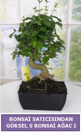 S dal eğriliği bonsai japon ağacı  Ankara Gölbaşı hediye sevgilime hediye çiçek
