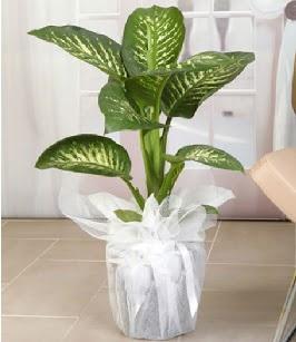 Tropik saksı çiçeği bitkisi  Ankara Gölbaşı hediye sevgilime hediye çiçek