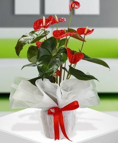 Antorium saksı bitkisi ithal kalite  ankara Gölbaşı çiçek mağazası , çiçekçi adresleri
