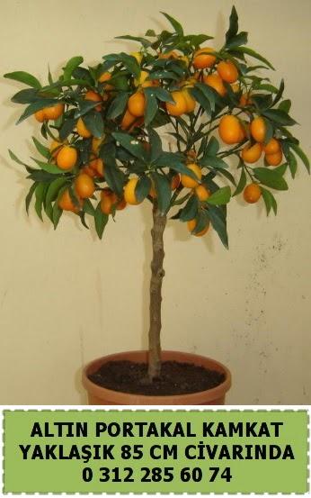 Altın portakal Kamkat ağacı bitkisi  Ankara Gölbaşı 14 şubat sevgililer günü çiçek