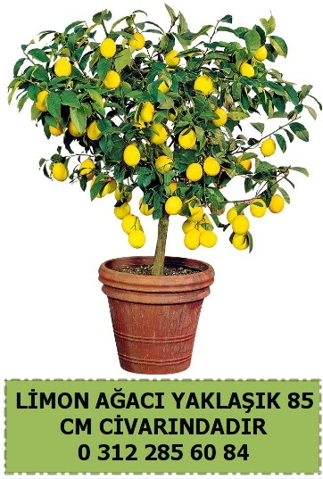 Limon ağacı bitkisi  Ankara Gölbaşı hediye sevgilime hediye çiçek
