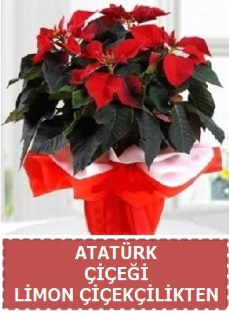 Atatürk çiçeği saksı bitkisi  Ankara Gölbaşı hediye sevgilime hediye çiçek