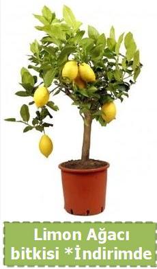 Limon ağacı bitkisi Ev için limon bitkisi  Gölbaşı çiçek online çiçek siparişi