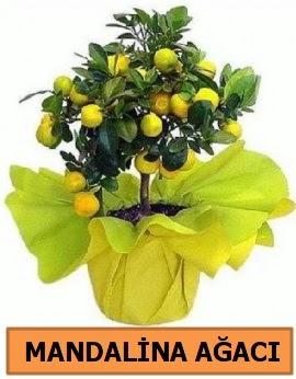 Mandalina ağacı Mandalina bitkisi  Ankara Gölbaşı 14 şubat sevgililer günü çiçek