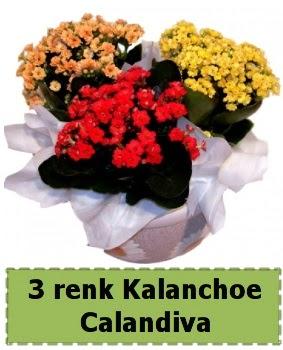 3 renk Kalanchoe Calandiva saksı bitkisi  Ankara Gölbaşı 14 şubat sevgililer günü çiçek