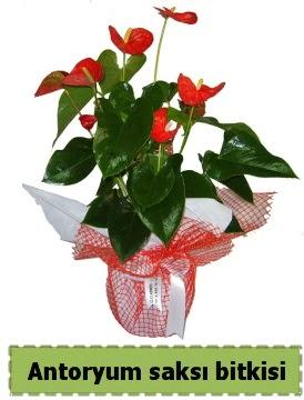 Antoryum saksı bitkisi büyük boy satışı  Gölbaşı çiçek online çiçek siparişi