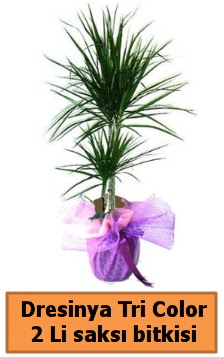 Dresinya Tri Color 2 li saksı bitkisi çiçeği  Ankara Gölbaşı hediye sevgilime hediye çiçek