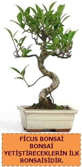 Ficus bonsai 15 ile 25 cm arasındadır  Ankara Gölbaşı çiçekçi uluslararası çiçek gönderme